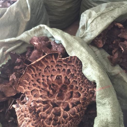 四川省阿坝藏族羌族自治州马尔康市黑虎掌菌 野生 干货