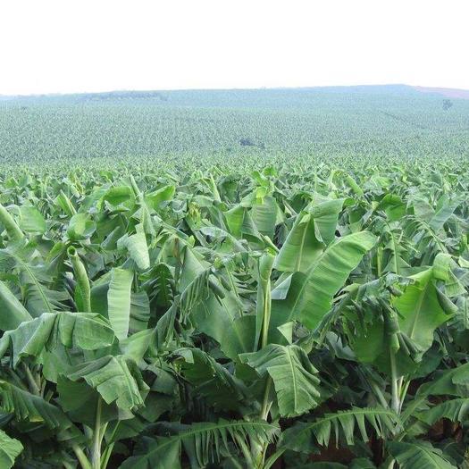 红河河口瑶族自治县河口香蕉 八成熟