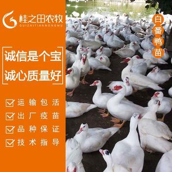 白番鸭苗 公苗长十斤左右 母苗五斤左右 包疫苗 包运输费用