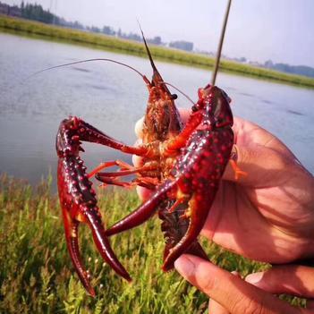 潜江小龙虾   大红7-0规格,品质好,肉质饱满