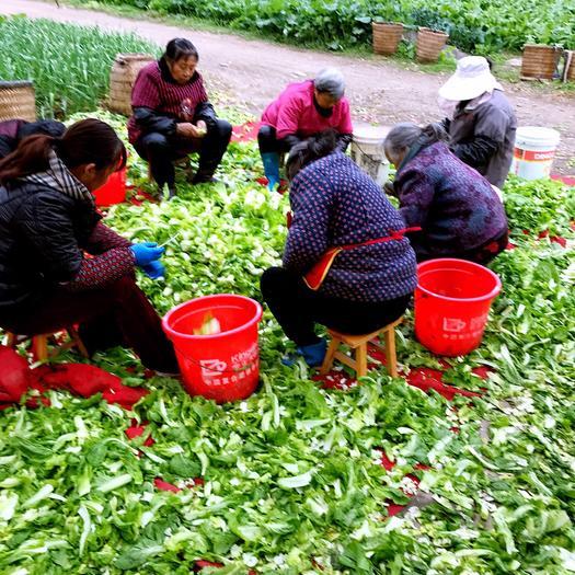 绵阳安州区四川儿菜 0.55斤