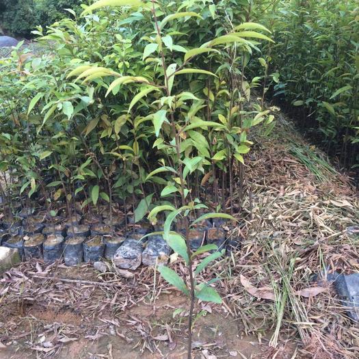 广州黄埔区红椎种子 50公分高袋苗