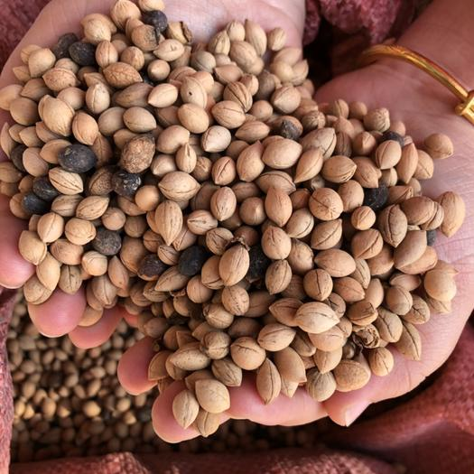 运城绛县钙果种子