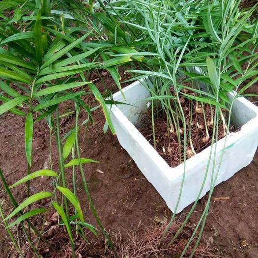 达州大竹县黄精种苗 种块茎