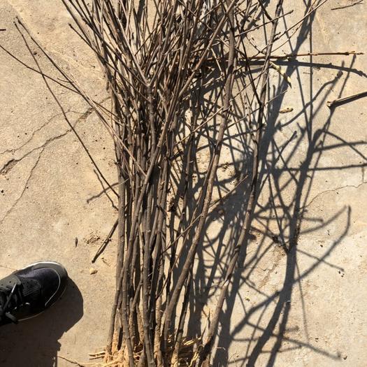 运城绛县文冠果树苗 0.5~1.0米