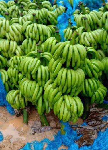 文山文山市河口香蕉 七成熟