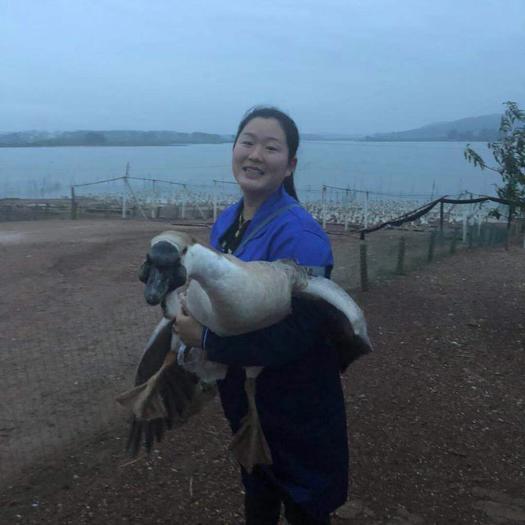 南宁西乡塘区狮头鹅苗 大种包打好疫苗保证存活率