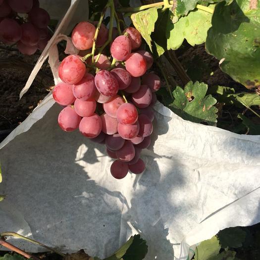 海阳市美国红提 1.5- 2斤 5%以下 1次果