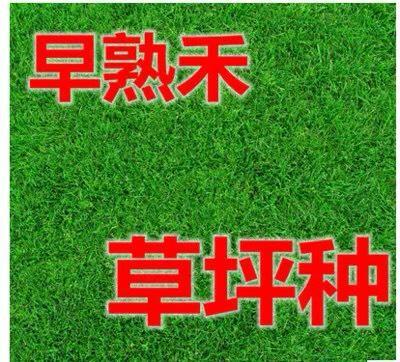 上海杨浦早熟禾种子 护坡草坪种子矮四季青耐寒耐践踏