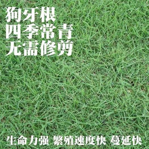上海杨浦狗牙根种子 免修剪耐践踏狗牙根高羊茅马尼拉百慕大四季青草坪种子护坡种子籽