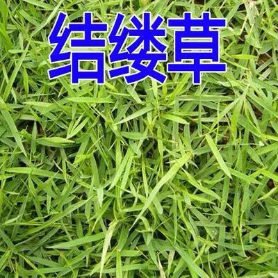 上海杨浦结缕草种子 日本进口草坪种子草籽 四季青