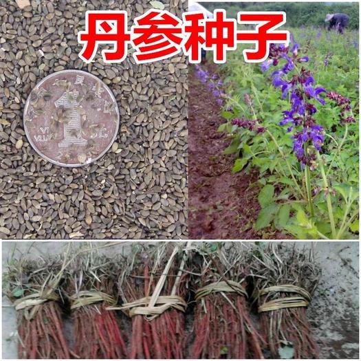 上海杨浦丹参种子