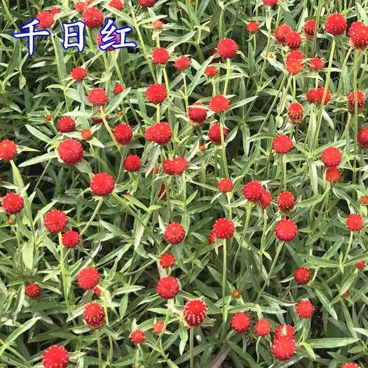 上海杨浦千日红种子 千日紫,