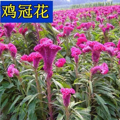 上海杨浦鸡冠花种子 优质