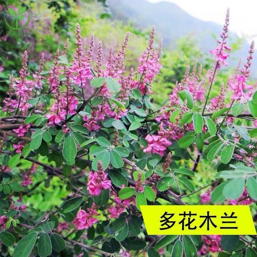 上海多花木兰种子