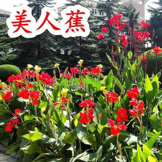 上海杨浦美人蕉种子