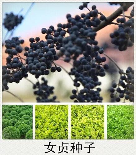 上海杨浦女贞树种子