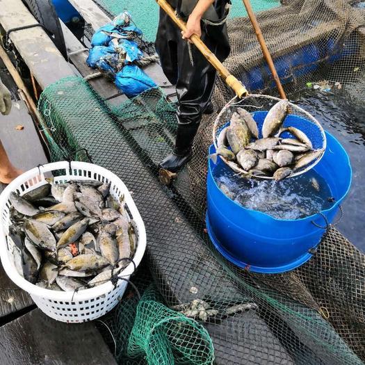 湛江坡头区虾虎鱼