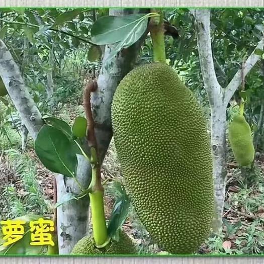 钦州灵山县四季菠萝蜜苗