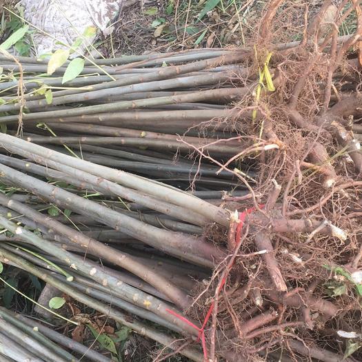 泰安岱岳区红油香椿苗 2公分以下 香椿苗,保证成活率