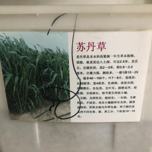 宿迁沭阳县苏丹草籽