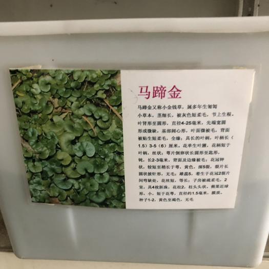 宿迁沭阳县马蹄金种子