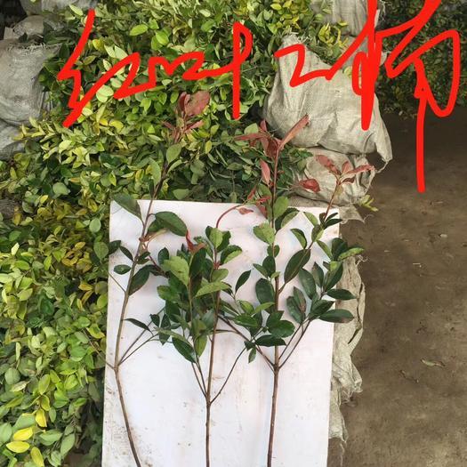 沭陽縣普通紅葉石楠 樹苗 四季常青庭院綠化苗木 樹苗紅羅賓籬笆苗