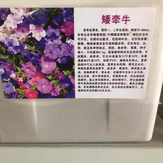 宿迁沭阳县牵牛花种子