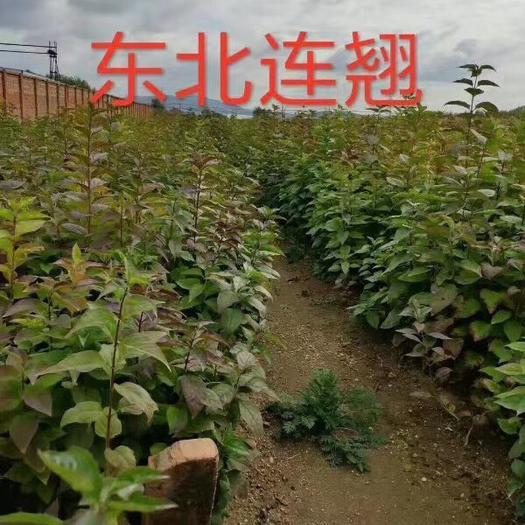 铁岭开原市连翘种子 各种扦插小苗,播种小苗,杯苗