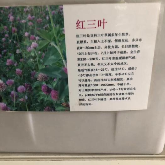 宿迁沭阳县三叶草种子 红三叶,白三叶,百慕大等种子