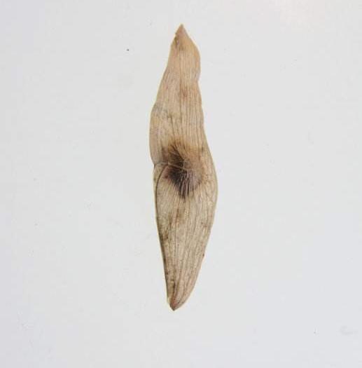 绛县臭椿种子