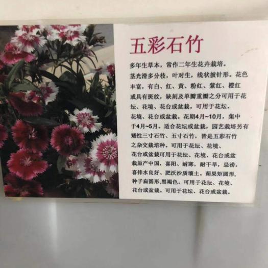 沭陽縣五彩石竹 常年出售,種子,