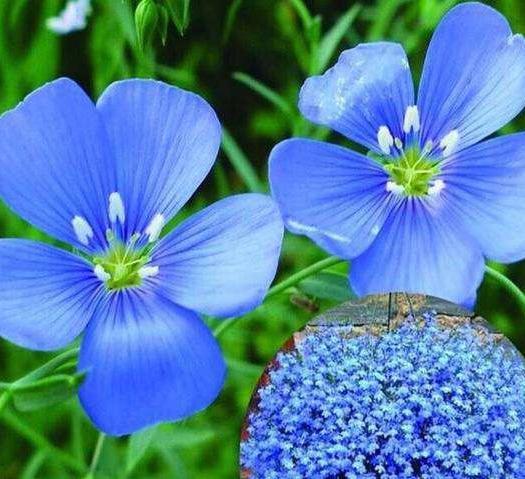 菏泽郓城县蓝花亚麻种子 蓝色花,多年生,耐寒,适合冬天