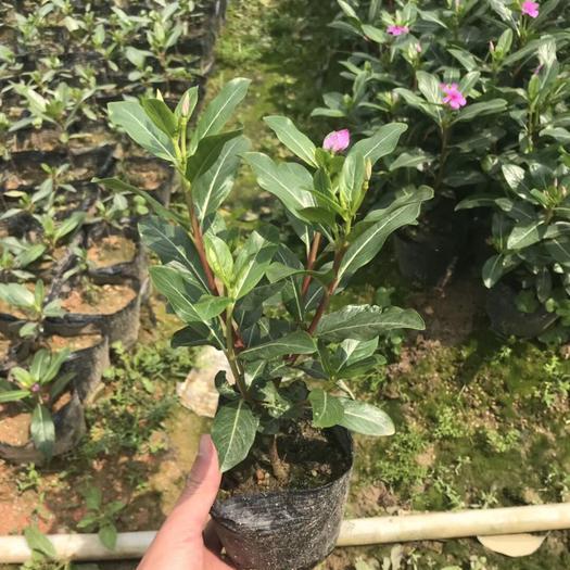 揭阳普宁市长春花种子 长春花袋苗20-30公分高 带花原土发货四季开花