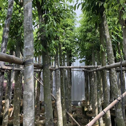 揭陽普寧市土沉香 沉香6-8公分袋苗 四季常青喬木 工程綠化行道樹