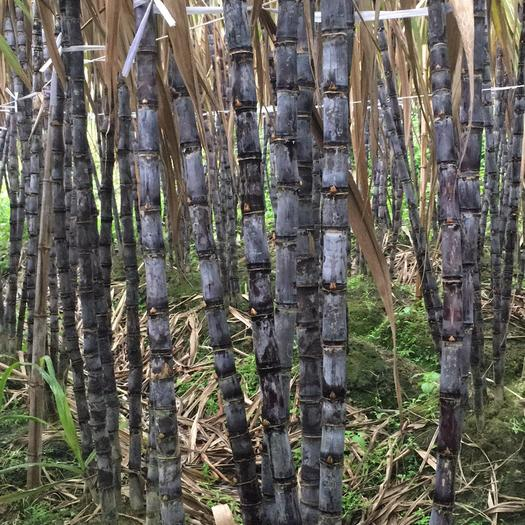 玉林黑皮甘蔗 4 - 5cm 2.5 - 3m