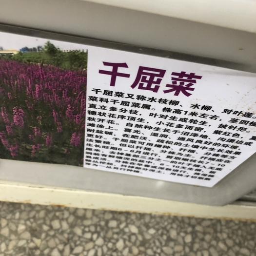 宿迁沭阳县千屈菜种子