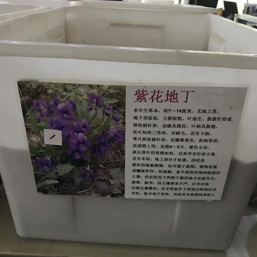宿迁沭阳县紫花地丁种子