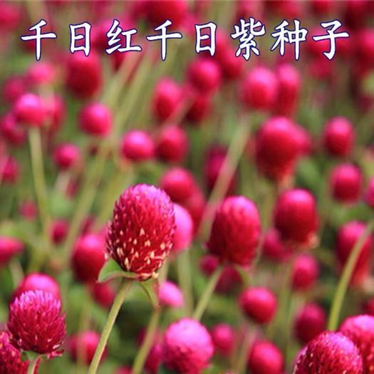 宿迁沭阳县千日红种子