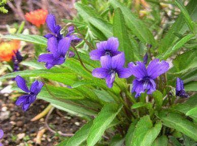 保定安国市紫花地丁种子