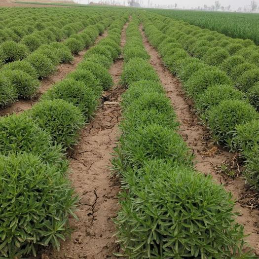 南皮县养心菜种苗 高钙菜苗,费菜苗,养心菜苗,救心菜