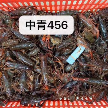 10.16日湖北潜江小龙虾硬4.4-6.4青虾到货价