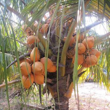 椰子苗 泰国矮种香水椰苗