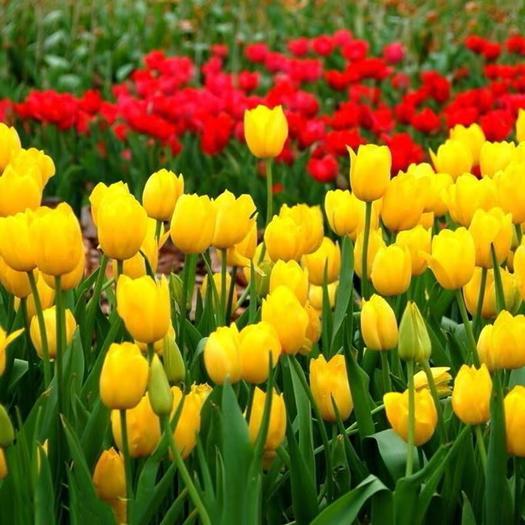 沭阳县郁金香 种球荷兰进口观花室内盆栽绿植