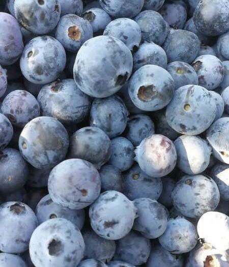 昆明西山區春高藍莓 15mm【珠寶】【萊格西】【密斯提】【兔眼燦爛】【春高】