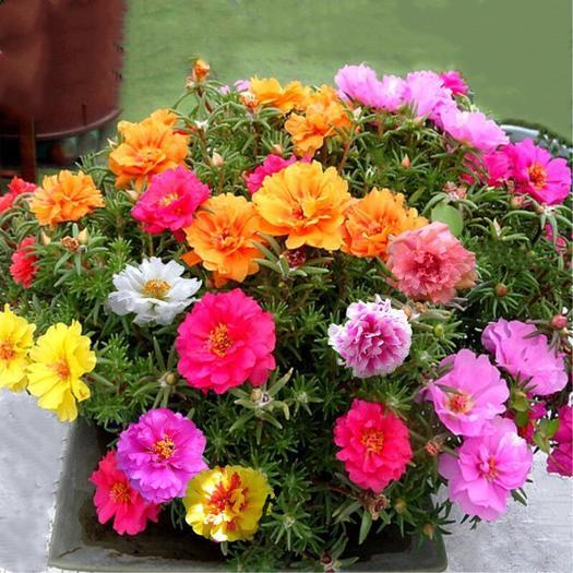 广州荔湾区 买1送1 包发芽【1万粒重瓣太阳花种子】松叶牡丹花卉盆栽庭院