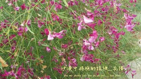 宿迁沭阳县花棒种子