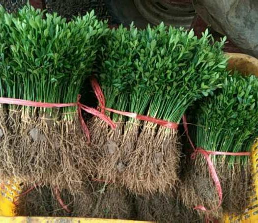 桂林恭城瑤族自治縣 大量出售枳殼小苗,價格優惠,量多更優惠。