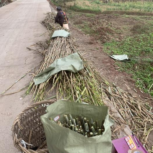 重庆铜梁 甜象草降价了,0.13一节,支持全国包邮。