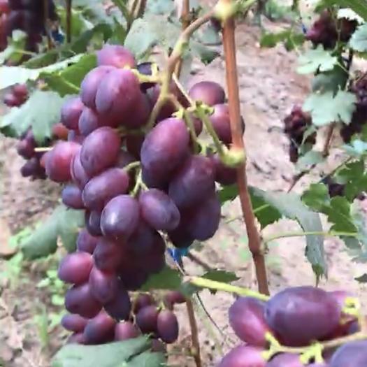 天津 黑芭拉多葡萄,刚开始卖